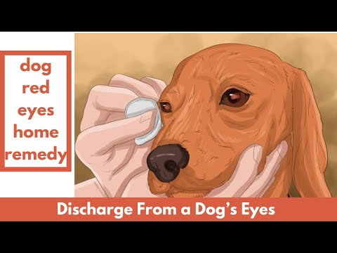 Dog Red Eyes Home Remedy | Discharge From A Dog's Eyes