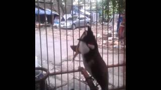 Repeat youtube video นกกรงหัวจุกแพงที่สุดในไทย