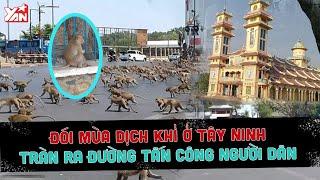 Tác hại do COVID-19: Khỉ ở Tây Ninh tràn ra đường tấn công người dân, đói vì không được cho đồ ăn.