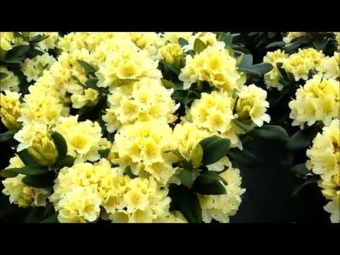 Best Garden Shrubs, Rhododendron Capistrano