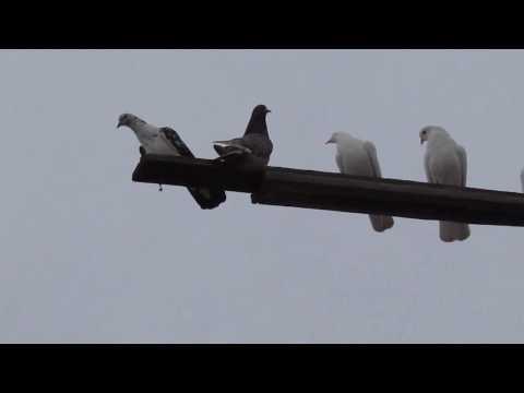 Армянские бойные голуби Волгоград Петр Николаевич