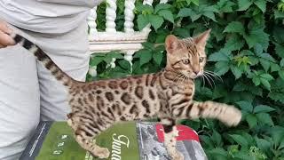 Бенгальский котенок.