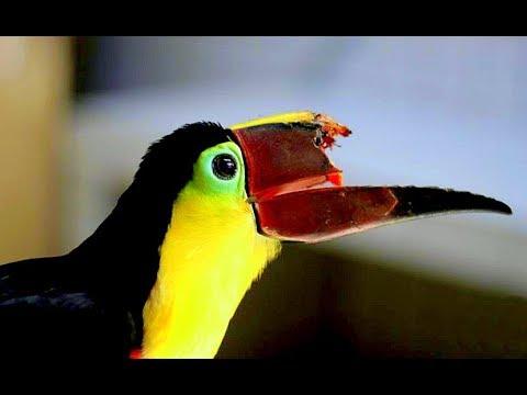 Lòng tham của con người đã biến những chú chim Tu-căng tội nghiệp ra thế này