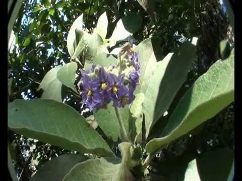 Woolly nightshade identification (Solanum mauritianum)
