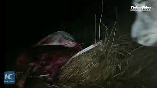 Snow leopard haunts! Qinghai herdsman captures moment of snow leopard eating yak meat