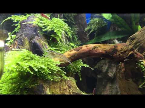 שרימפ ג'פוניקה- (Japonica Amano Shrimp (Caridina japonica