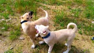 ★YENi★3 Aylık safkan kangallar!!kangal yavuları@kangal yavrusu@yeni kangal köpeğim