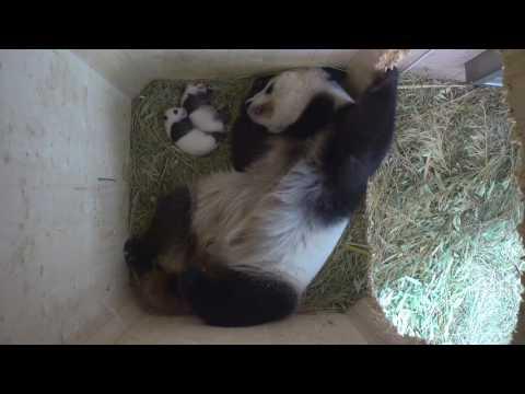Panda Twins Day 37