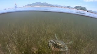 Krabben-Invasion in der Adria