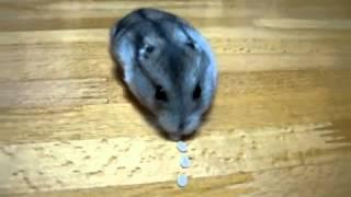 Carrera de Hamster comiendo arroz! muy lindo!!