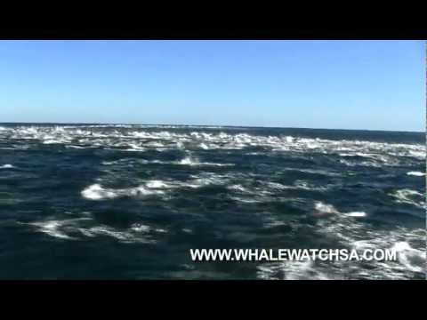 Orcas hunting Common dolphins Gansbaai, South Africa   Dyer Island Cruises whale watching