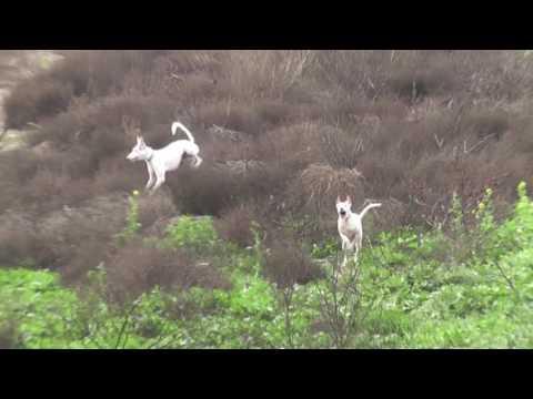 Slo-mo And Freeze Frame Ibizan Hounds Hunting