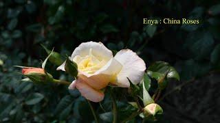 Enya : China Roses