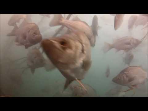 Estuary Fish On Woody Habitat