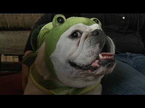 Bulldog in a Frog Costume