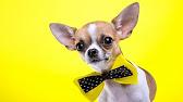 Очень храбрый маленький щенок чихуахуа - YouTube