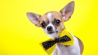 Чихуахуа. Секреты содержания и воспитания собак