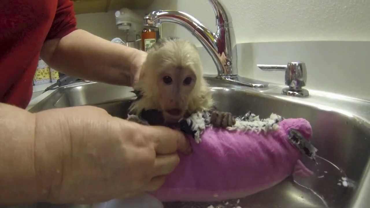 Baby Benji Capuchin Monkey Bath Youtube