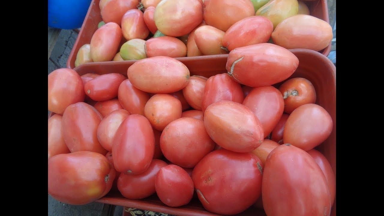томат петруша огородник фото куста сидеть лучше
