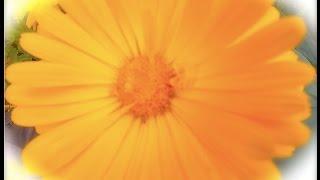 Calendula - the Power to Heal - with Herbalists Angela and Yarrow Willard