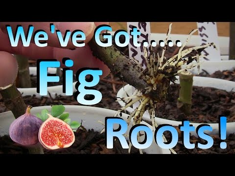 Propagating Fig Cuttings the Easy Way |  The Best Method I've Found for Rooting Figs