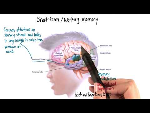 Short term or working memory in the brain - Intro to Psychology