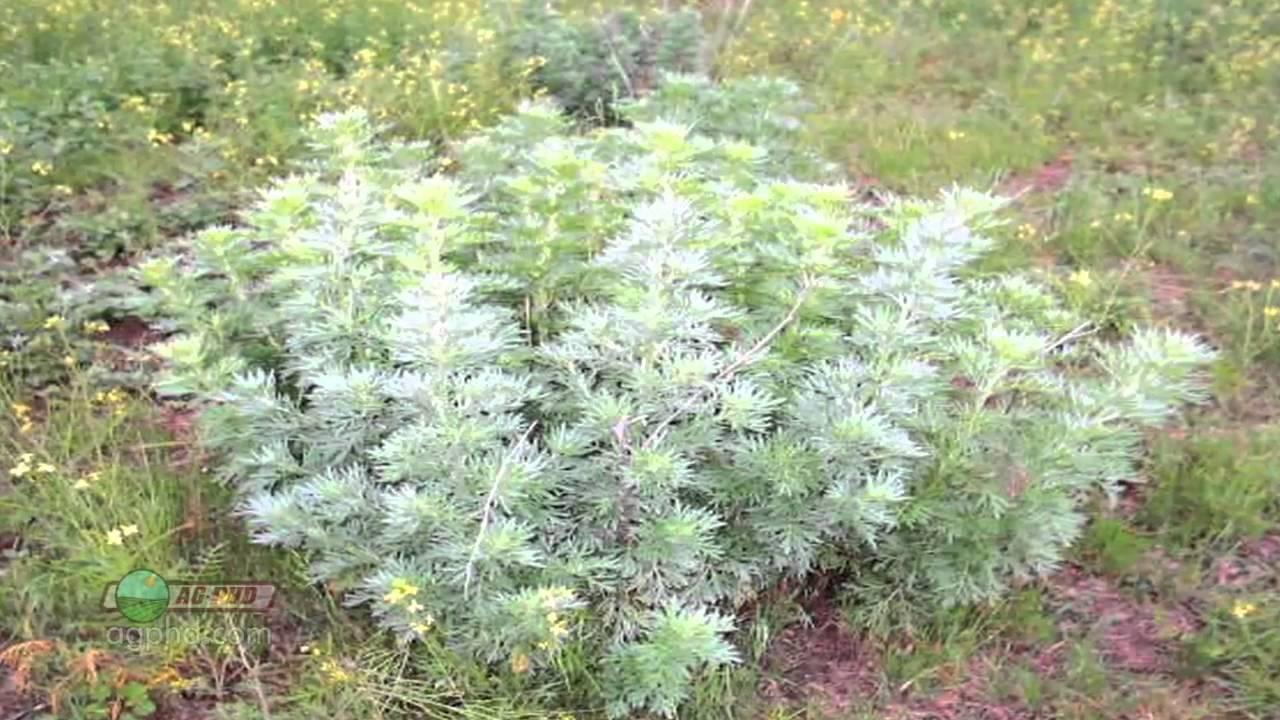 Weed Of The Week 670 Absinth Wormwood Air Date 2 6 11