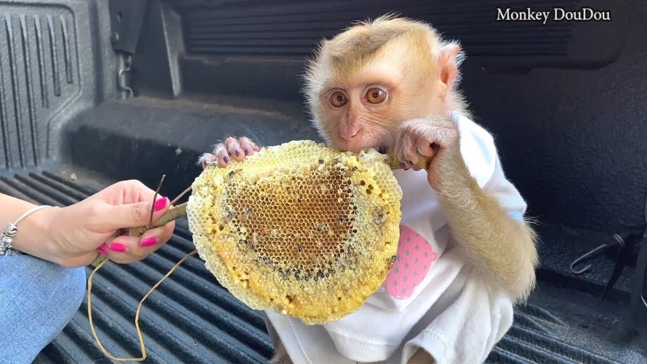 Baby Monkey | DouDou Eat Honey First Time With Mommy
