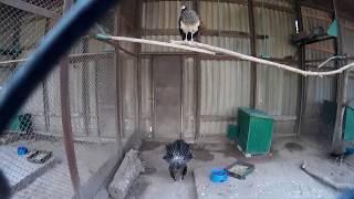 Маленький павлин ходит задом в клетке зоопарка