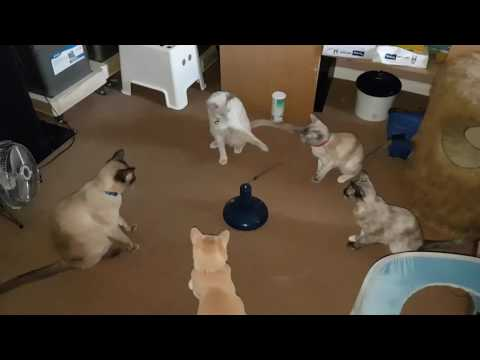 Five of six of my Tonkinese cats enjoying taking turns to play