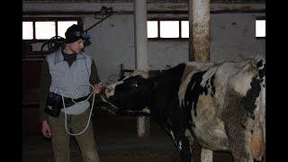 Проверяем стельность у коров с помощью УЗД