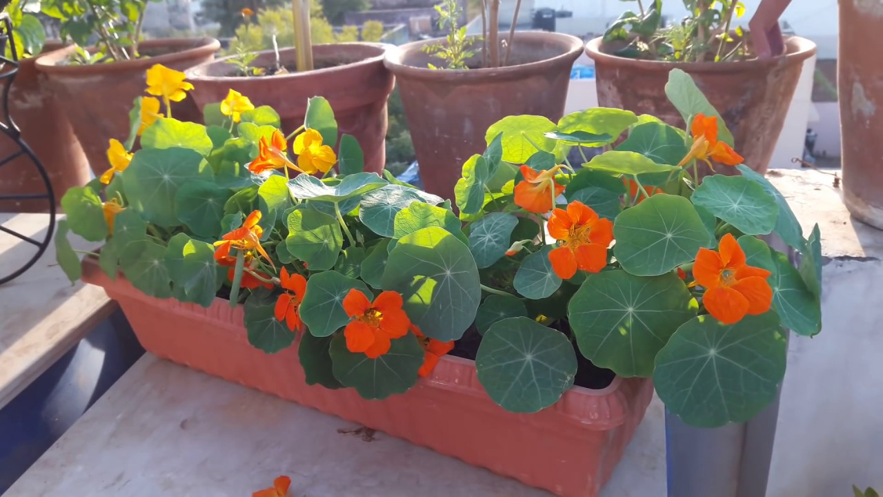 Indicators on How To Nasturtium Seeds You Need To Know