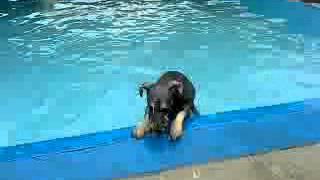 Miniature Schnauzer Swimming @ Dog Pool