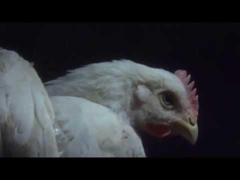 Watch: Secret Video Catches Tyson Foods Torturing Animals