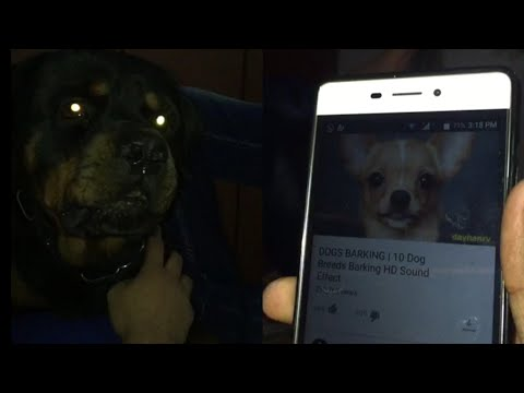 Angry Rottweiler Reacts On Dog Videos | Dogs are cute |