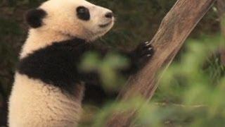 Anak Panda Jumpai Salju Pertama