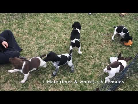 Roxy x Grouser 2019 GSP Puppies