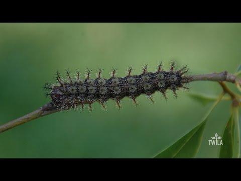 Watch Out for Buck Moth Caterpillars