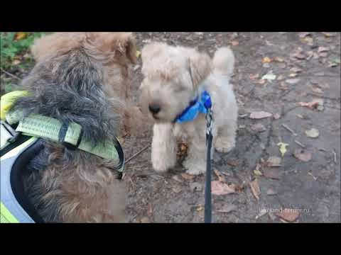 Lakeland-terrier puppy in forest.