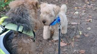 Lakelandterrier puppy in forest.