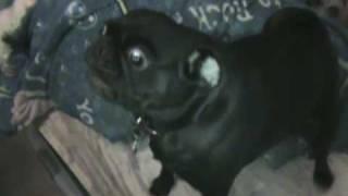 Pug Barking