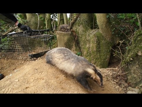 """Some European badgers are """"Super Rangers"""""""