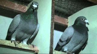 Z wizytą u hodowcy gołębi pocztowych cz-1