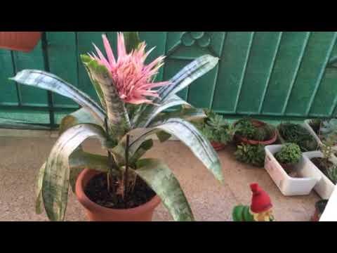 Комнатные растения. Цветение эхмеи.
