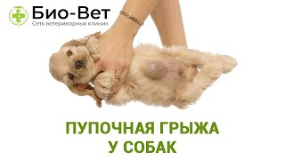 Пупочная грыжа у собак. Ветеринарная клиника Био-Вет.