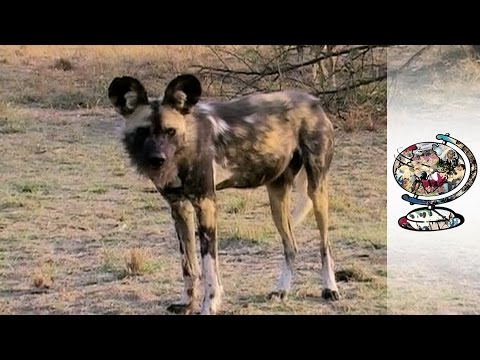 Hidden Trade Of Endangered African Wild Dogs