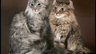 ТОП 19 самых дорогих пород кошек в мире