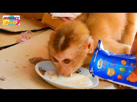 Axel Bay Get More Food & Milk Extra | Axel Happy To Get With Adorable Attitude | Monkey Daily 2751