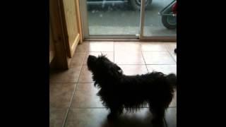 Cairn Terrier Puppy Arguing, She Wants A Walk