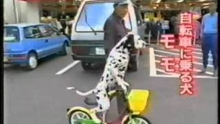 Далматинец на велосипеде